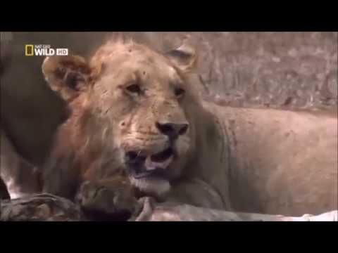 Life Documentary On Lions FULL HD DOCUMENTARY