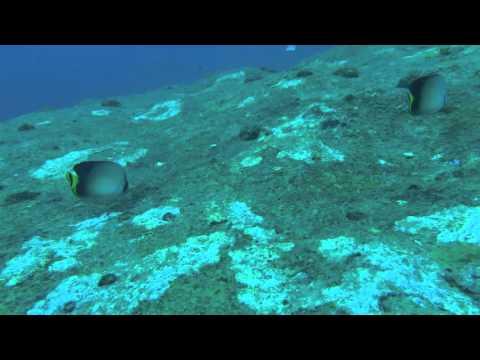 シミラン諸島の生物ガイド:インディアンバガボンドバタフライフィッシュ