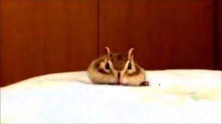 забавный бурундук подборка приколов с животными свежие