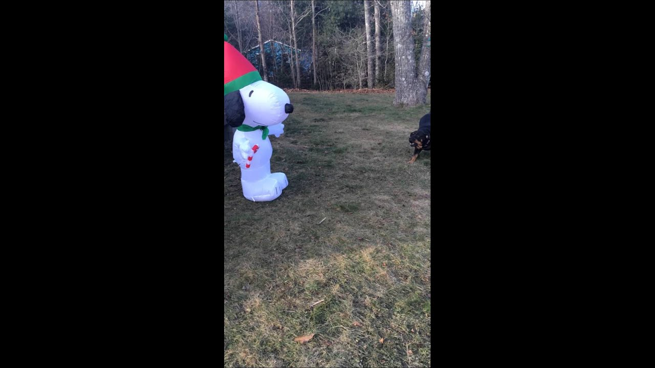 rottweiler vs blow up snoopy christmas decoration