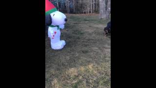 Rottweiler Vs. Blow-up Snoopy Christmas Decoration