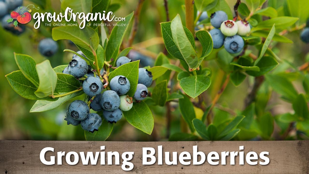 planting blueberries growing blueberries