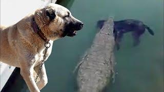 Köpekleri Timsahların Önüne Attılar !! ( Ve Turistlere İzlettiler )