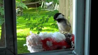 Black-Capped Chickadee, filmed with Flip MinoHD camcorder