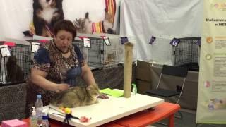 Британская шиншилла золотая. Выставка кошек 18-19 июля 2015. Санкт-Петербург.