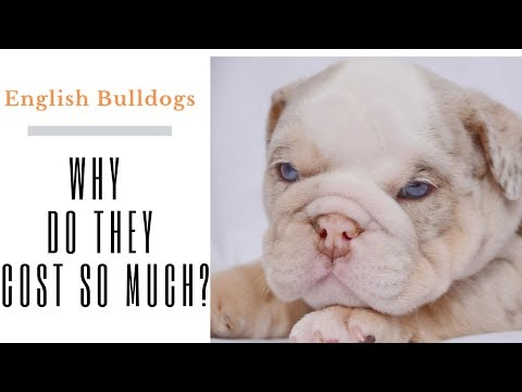 Why do bulldogs cost so much - English bulldog puppies