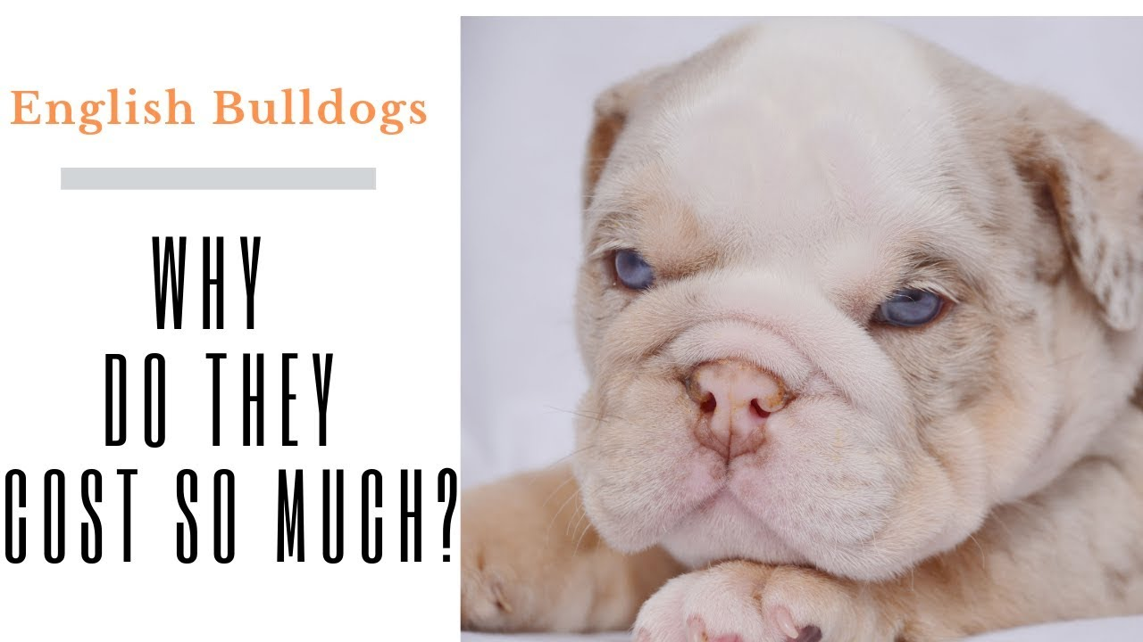 why do bulldogs cost so much - english bulldog puppies