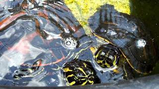 AQUATIC TURTLES IN OUTDOOR POND  YELLOW BELLIED SLIDERS