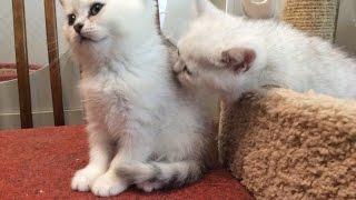 Котята на продажу родившиеся 25 07 2015