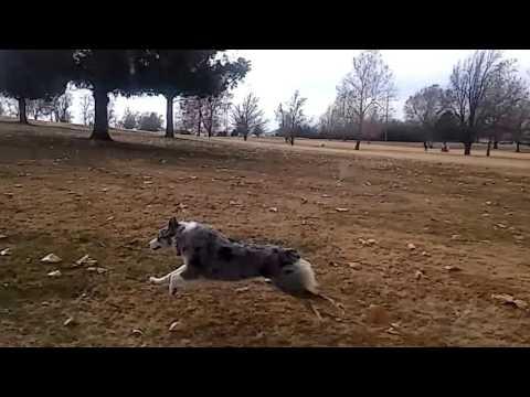 Happy Australian Shepherd Catching and Running| Zelda |