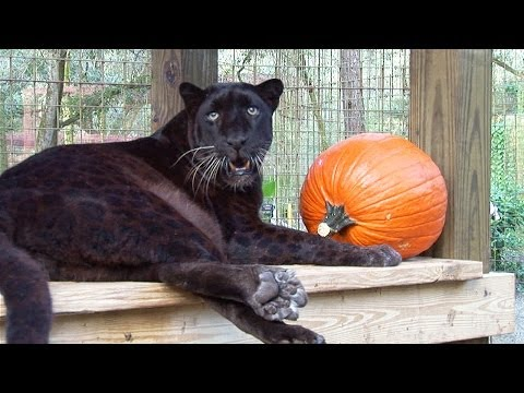 Thumbnail for Cat Video Black Leopard Birthday!