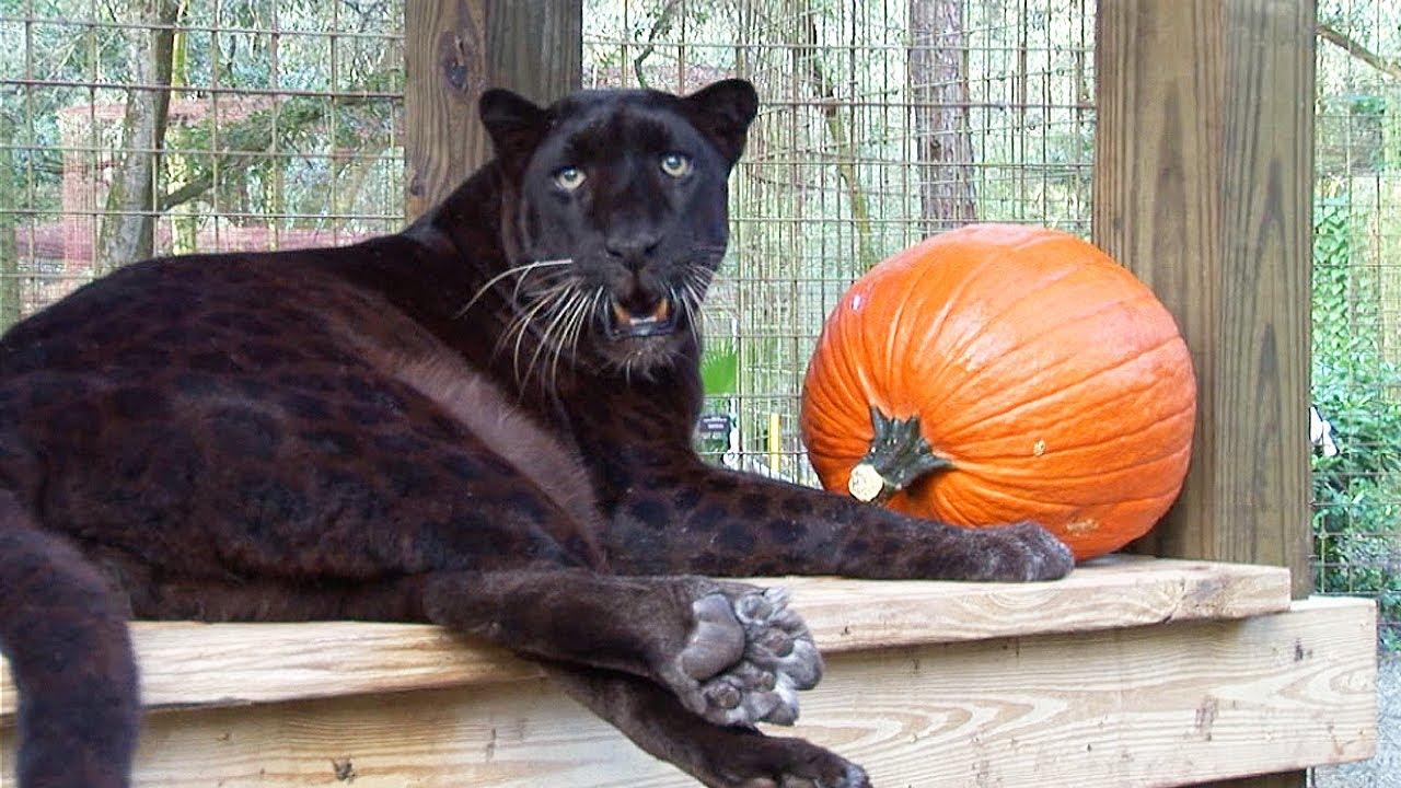 Black Leopard Birthday! - YouTube - photo#23