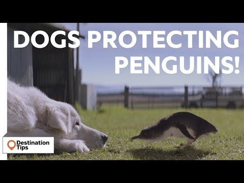 Dogs Protecting Penguins