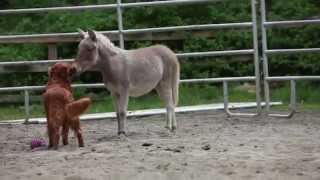 Baby Mini Mule And Golden Retriever Playing