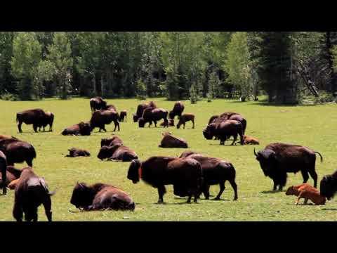 Grand Canyon North Rim Buffalo