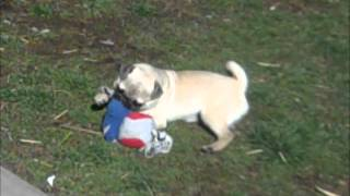 Pug Puppies For Sale In Ohio March 16,2012.wmv