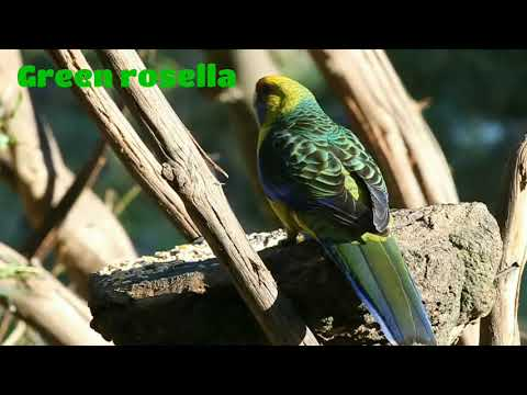 Amazing Green rosella (Platycercus caledonicus)