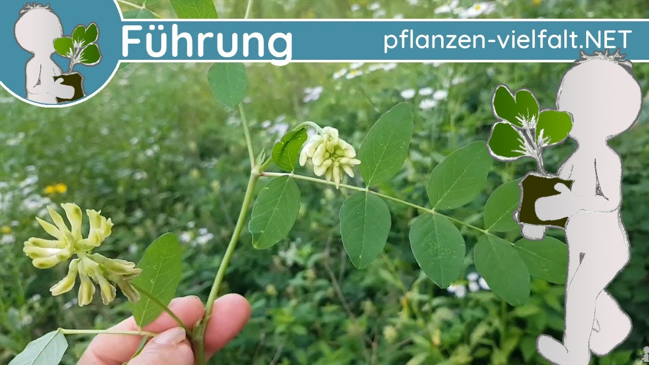 🔎 KW 28 - Wildpflanzenführung 1/1 - (zweite Juliwoche) - Mix-ohne-Titel 🙃