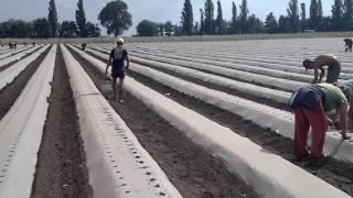 видео Выращивание клубники в открытом грунте