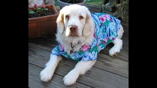 Dudley the Clumber Spaniel  a Tribute