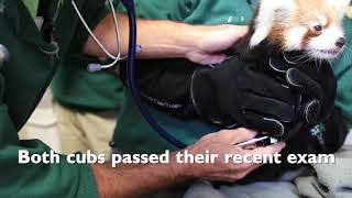 Red Panda Cub Update!