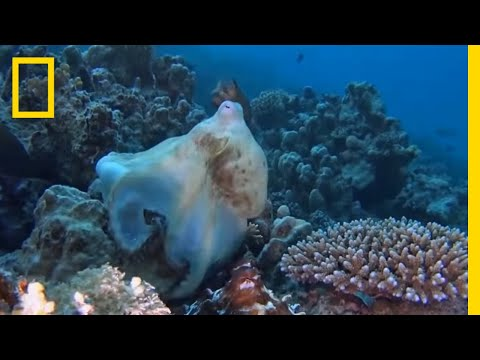 """Octopuses Mate With a Special """"Sex Arm""""   National Geographic"""
