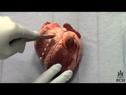 Sheep's Heart Dissection