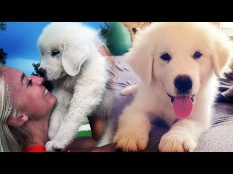 KODA - THE GREAT PYRENEES PUPPY (Super Cooper Sunday #99)