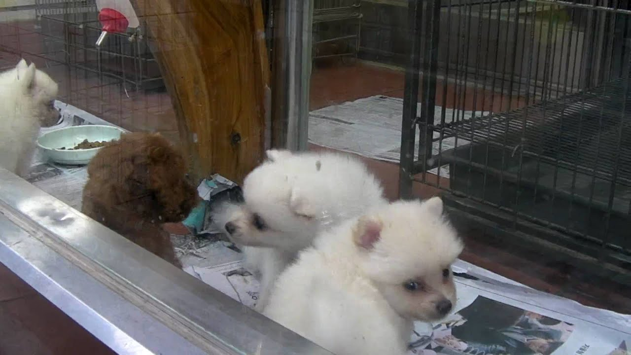 cute puppies at a pet store busan south korea   youtube