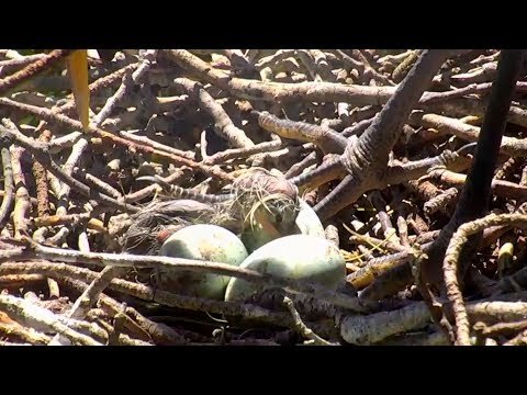 First hatch on Great Blue Heron cam. 12.41 / 26 April 2018