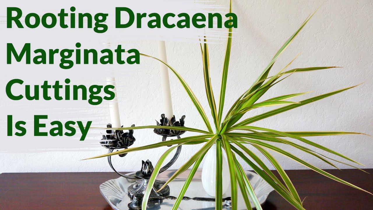 Dracaena reflexa propagation
