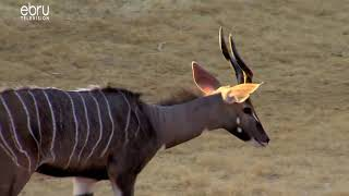 Species Of Kudus & Their Differences