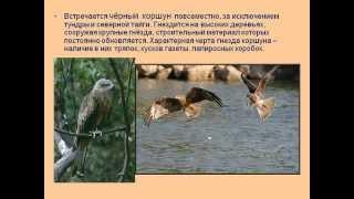 Хищные птицы.AVI