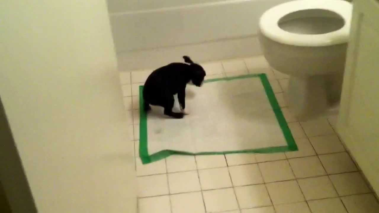 boston terrier potty training boston terrier shows off her potty training skills youtube 8970
