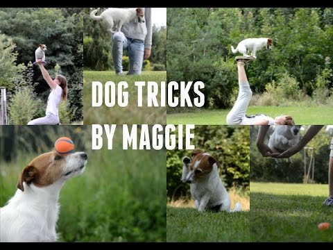 Dog tricks by Maggie the Jack Russell terrier