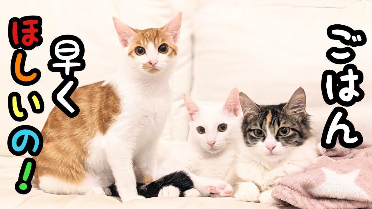 「ごはん〜」を覚えた猫達がついに大合唱し始めましたww