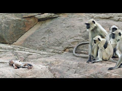 Langur Monkeys Grieve Over Robot Monkey
