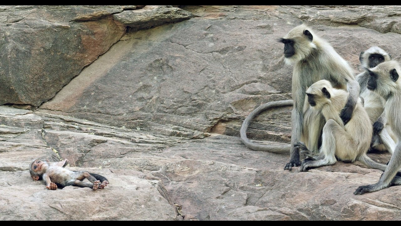 Langur Monkeys Grieve Over Robot Monkey - YouTube