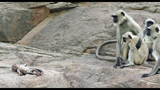 Langur Monkeys Grieve Over Robot Monkey