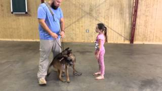"Malinois ""viper"" Obedience Protection Trained Guard Dog For Sale"