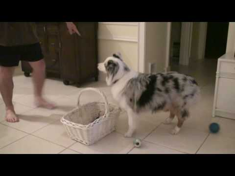 Dog Tricks Australian Shepherd Savannah Puts away toys