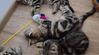 Сибирские котята питомник Spark Heart