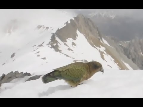 Carnivorous Mountain Parrots