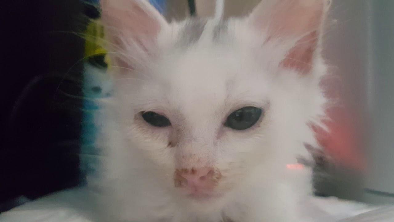Turkish Angora Cat Kitten Short Hair D 48 6 Youtube