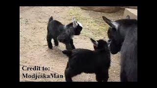 Pygmy Goat Happy Feet