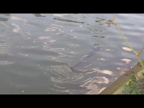 Large eel in Sydney canal at Five Dock.