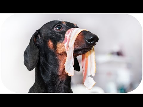 Don't trust cute dachshund eyes vol 4! Funny dog video!