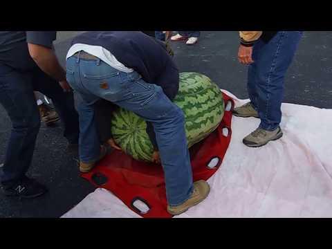 World record 350.5 Kent Giant Watermelon