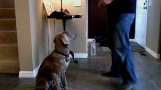 Marty The Weimaraner Tricks At 5.5 Months Old