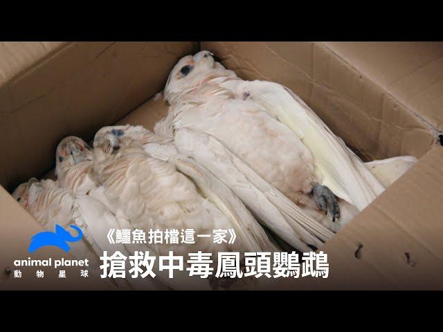 搶救遭人類下毒的鳳頭鸚鵡們 動物星球頻道